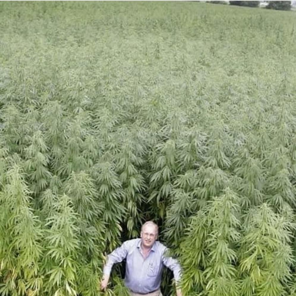 Выйду в поле конопли как вырастить коноплю дома и без палева