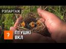 50 птушанятаў чырванакніжнай птушкі перасялілі зь Беларусі ў Літву