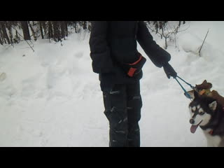 В Ковдоре тоже катаются на санях,которые тянут собаки породы хаски..