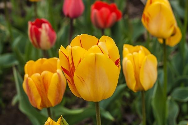 Тюльпаны Дарвиновы гибриды.