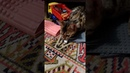 Бенгальская кошка Лора играет в игрушки