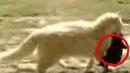 Эта кошка воровала соседских щенков вскоре они поняли почему