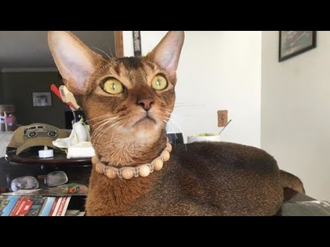 Lovely Abyssinian Cat Want To Go Out Please Daddy