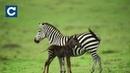 Рідкісне плямисте зебреня помітили у Кенії
