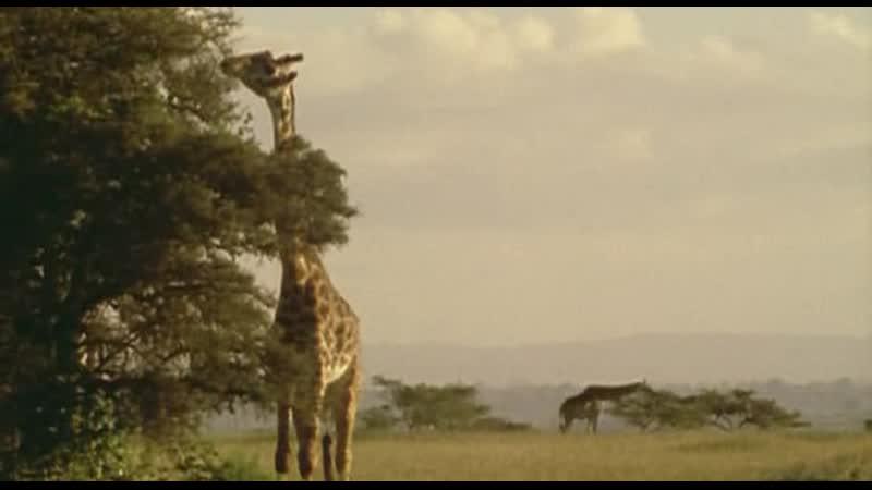 BBC Ребятам о зверятах Жираф