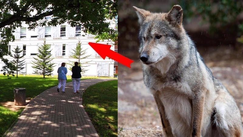 Un loup est venu à lhôpital de la ville ! Vous ne le croirez pas quand vous découvrirez pourquoi