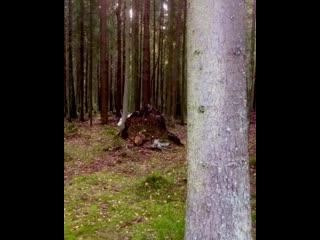 Белый олень в Ленобласти