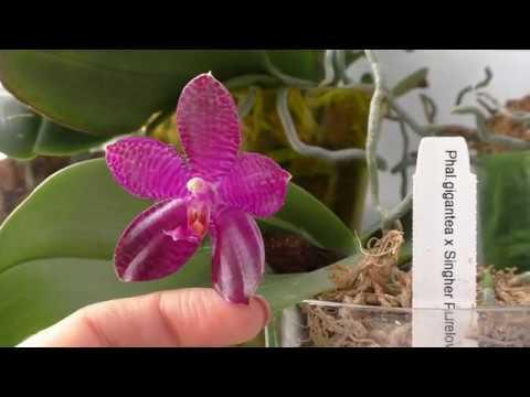 Орхидея необыкновенной красоты Распустилась орхидея Phal gigantea x Singer Purelove