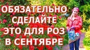 Уход за розами в сентябре Супер подкормка для роз Удобрение из банановой кожуры