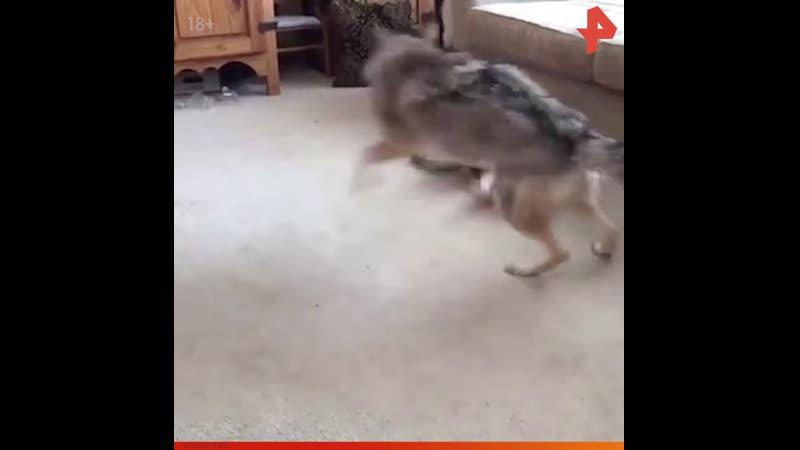 Кот играет с койотом РЕНТВ