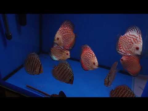 Archer-fish магазин, coppens корма, море, дискусы, Рыба-Вампир и другие монстры