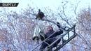 Пятигорский енот выжил после падения с 10 метровой высоты