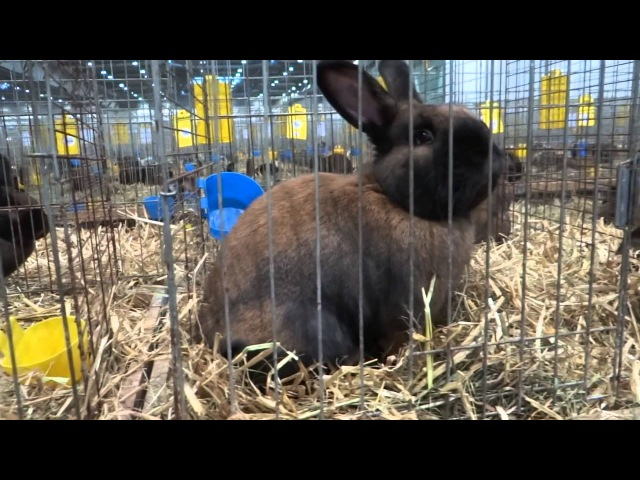 Thuringer Тюрингенский кролик Europaschau 2012