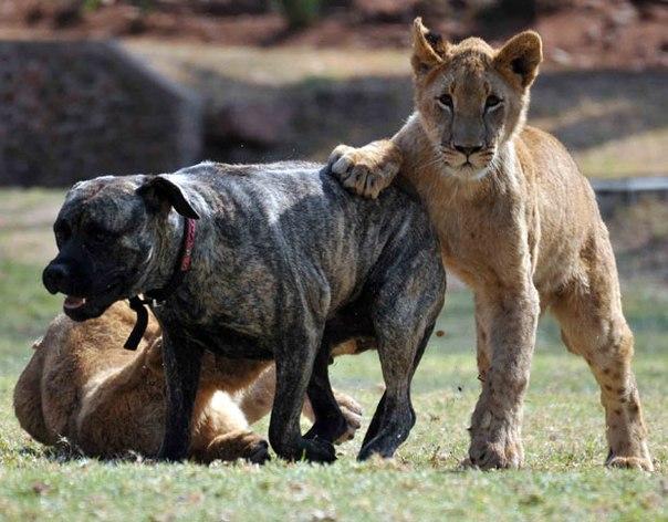 Картинки львов и собака