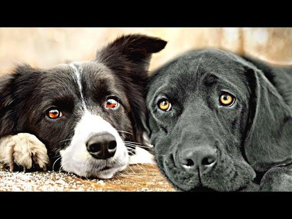 Два пса жили в приюте и когда их разлучили, они оба выли и скулили от тоски друг по другу...