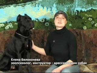 Кане-корсо - все о породе Телепередача Собаки