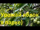 1421, 21.07.2021, город Орёл, парк, ЦПКиО, щедрый урожай полудиких яблок, урожайный год на яблоки, яблоневый сад в парке