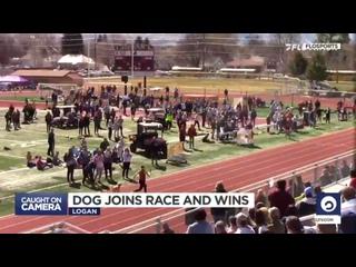 Собака на соревнованиях по бегу