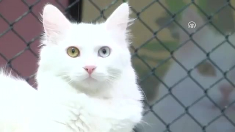 Мяу! ❤ Один глаз синий и другие глаза желтый. Посмотрите на самую красивую кошку из Ван