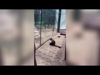 Capuchin monkey cracks tempered glass with stone at Zhengzhou zoo