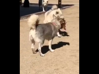 🐺Собаки произошли от волков - это единственное объяснение их поведения на этом видео.