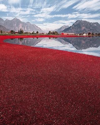 Так выглядит сбор урожая клюквы в Канаде