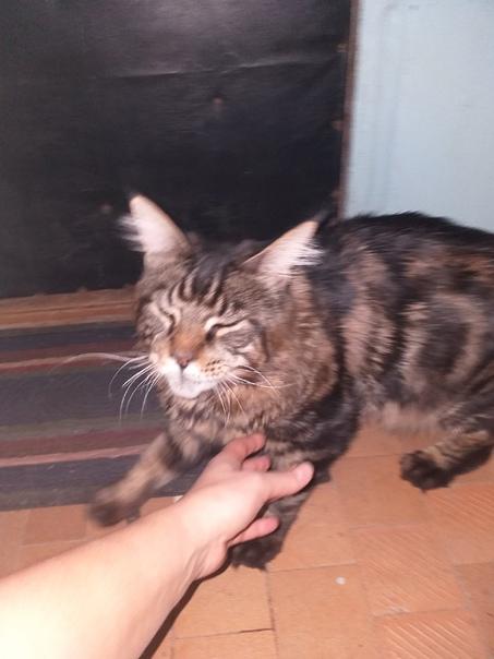 Огромный кот - Мейн Кун. Орёт уже часа 3 на ул. Го...