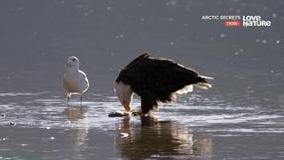 «Тайны Арктики (7). Дикий Юкон» (Познавательный, природа, животные, 2017)
