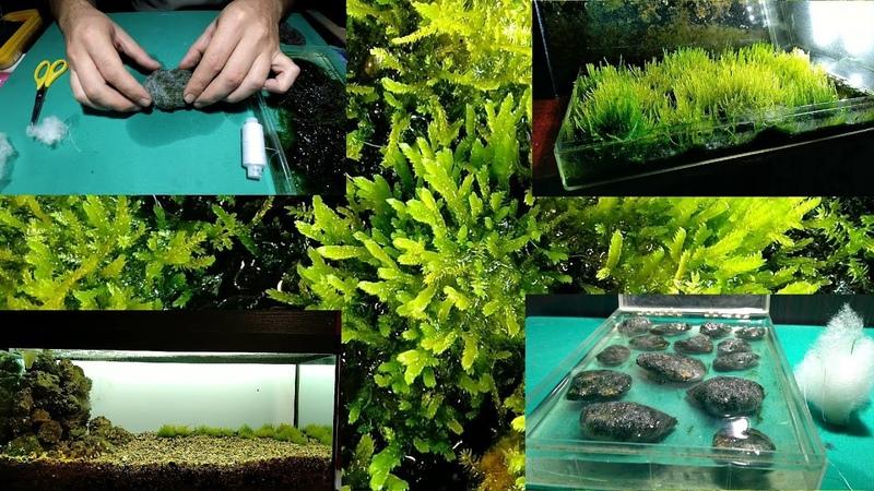 Яванский мох на камнях в синтипоне выращивание на суше Javanese moss on stones in synttipon cultivat