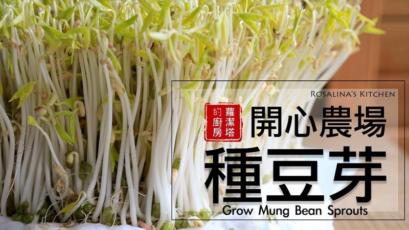 療癒~豆芽成長日記,所有細節一次告訴你! 孵豆芽 種豆芽 發綠豆芽 Grow Mung