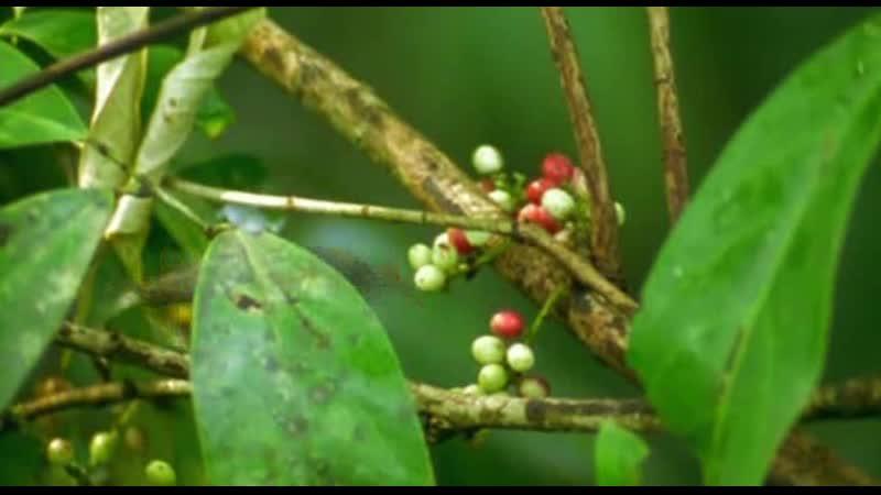 BBC Ребятам о зверятах Орангутанг