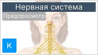 Нервная система (предпросмотр) - Анатомия человека |Kenhub
