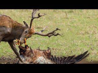 Thảm sát Tốc độ áp sát kinh hoàng con mồi : Chó sói ,cáo , Nai , mèo hoang dã đại chiến Tự vệ