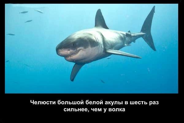 валтея - Интересные факты о акулах / Хищники морей.(Видео. Фото) FX0nwOfPRB0